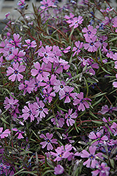 Purple Beauty Moss Phlox (Phlox subulata 'Purple Beauty') at Bayport Flower Houses