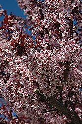 Thundercloud Plum (Prunus cerasifera 'Thundercloud') at Bayport Flower Houses