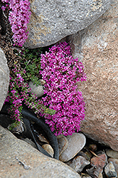 Pink Chintz Creeping Thyme (Thymus praecox 'Pink Chintz') at Bayport Flower Houses