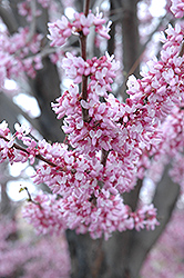 Eastern Redbud (Cercis canadensis) at Bayport Flower Houses