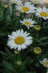 Snow Lady Shasta Daisy (Leucanthemum x superbum 'Snow Lady') at Bayport Flower Houses