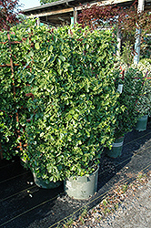 Manhattan Spreading Euonymus (Euonymus kiautschovicus 'Manhattan') at Bayport Flower Houses