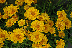Jethro Tull Tickseed (Coreopsis 'Jethro Tull') at Bayport Flower Houses