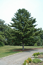 Korean Pine (Pinus koraiensis) at Bayport Flower Houses
