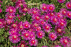 Purple Ice Plant (Delosperma cooperi) at Bayport Flower Houses