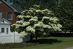 Chinese Dogwood (Cornus kousa) at Bayport Flower Houses