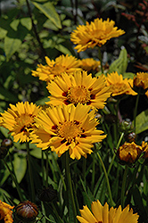 Sunfire Tickseed (Coreopsis grandiflora 'Sunfire') at Bayport Flower Houses