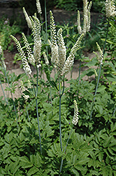 American Bugbane (Cimicifuga racemosa) at Bayport Flower Houses