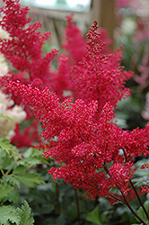 Montgomery Japanese Astilbe (Astilbe japonica 'Montgomery') at Bayport Flower Houses