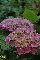Forever And Ever Blue Heaven Hydrangea (Hydrangea macrophylla 'Forever And Ever Blue Heaven') at Bayport Flower Houses