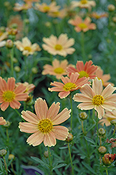 Sienna Sunset Tickseed (Coreopsis 'Sienna Sunset') at Bayport Flower Houses
