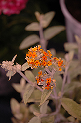 Flutterby Grande® Sweet Marmalade Butterfly Bush (Buddleia 'Podaras 2') at Bayport Flower Houses