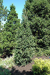 Columnar Norway Spruce (Picea abies 'Cupressina') at Bayport Flower Houses