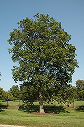 Shagbark Hickory (Carya ovata) at Bayport Flower Houses