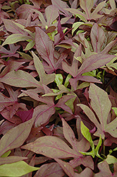 Sweet Caroline Bronze Sweet Potato Vine (Ipomoea batatas 'Sweet Caroline Bronze') at Bayport Flower Houses