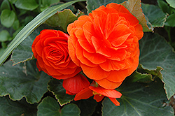 Nonstop® Golden Orange Begonia (Begonia 'Nonstop Golden Orange') at Bayport Flower Houses