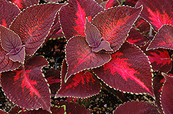 ColorBlaze® Kingswood Torch Coleus (Solenostemon scutellarioides 'Kingswood Torch') at Bayport Flower Houses
