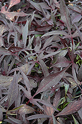 Illusion Midnight Lace Sweet Potato Vine (Ipomoea batatas 'Illusion Midnight Lace') at Bayport Flower Houses