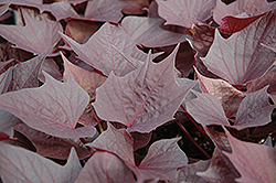 Sweet Caroline Bewitched Sweet Potato Vine (Ipomoea batatas 'Sweet Caroline Bewitched') at Bayport Flower Houses