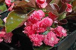 Doublet Rose Begonia (Begonia 'Doublet Rose') at Bayport Flower Houses