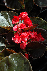 Doublet Red Begonia (Begonia 'Doublet Red') at Bayport Flower Houses