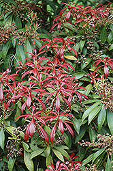 Valley Valentine Japanese Pieris (Pieris japonica 'Valley Valentine') at Bayport Flower Houses