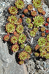 Sunset Hens And Chicks (Sempervivum 'Sunset') at Bayport Flower Houses