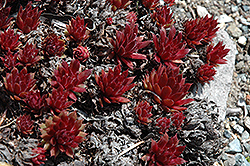 Royal Ruby Hens And Chicks (Sempervivum 'Royal Ruby') at Bayport Flower Houses