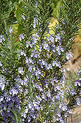 Rosemary (Rosmarinus officinalis) at Bayport Flower Houses