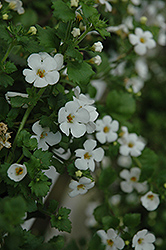 Abunda Giant White Bacopa (Sutera cordata 'Abunda Giant White') at Bayport Flower Houses