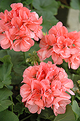 Patriot Salmon Geranium (Pelargonium 'Patriot Salmon') at Bayport Flower Houses