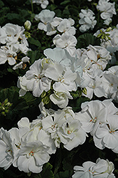 Tango White Geranium (Pelargonium 'Tango White') at Bayport Flower Houses