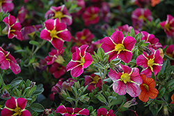 Superbells® Cherry Star Calibrachoa (Calibrachoa 'Superbells Cherry Star') at Bayport Flower Houses