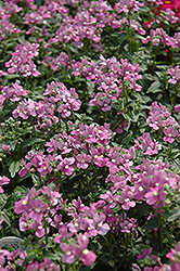 Compact Pink Innocence Nemesia (Nemesia 'Compact Pink Innocence') at Bayport Flower Houses