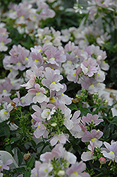 Opal Innocence Nemesia (Nemesia 'Opal Innocence') at Bayport Flower Houses