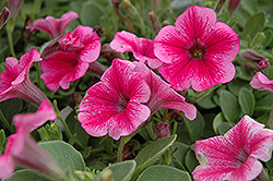 Supertunia® Mini Strawberry Pink Vein Petunia (Petunia 'Supertunia Mini Strawberry Pink Vein') at Bayport Flower Houses