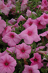 Supertunia® Cotton Candy Petunia (Petunia 'Supertunia Cotton Candy') at Bayport Flower Houses