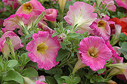 Surprise Pink Lemonade Petunia (Petunia 'Surprise Pink Lemonade') at Bayport Flower Houses