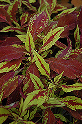Pineapple Coleus (Solenostemon scutellarioides 'Pineapple') at Bayport Flower Houses