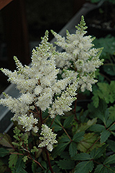 Younique White Astilbe (Astilbe 'Verswhite') at Bayport Flower Houses