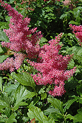 Younique Cerise™ Astilbe (Astilbe 'Verscerise') at Bayport Flower Houses
