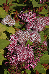 Double Play® Big Bang™ Spirea (Spiraea 'Tracy') at Bayport Flower Houses