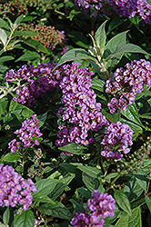 Lo And Behold® Purple Haze Dwarf Butterfly Bush (Buddleia 'Lo And Behold Purple Haze') at Bayport Flower Houses