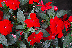 Super Sonic Red New Guinea Impatiens (Impatiens hawkeri 'Super Sonic Red') at Bayport Flower Houses