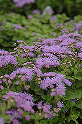 Artist Blue Flossflower (Ageratum 'Artist Blue') at Bayport Flower Houses