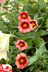 Superbells® Coralberry Punch Calibrachoa (Calibrachoa 'Superbells Coralberry Punch') at Bayport Flower Houses