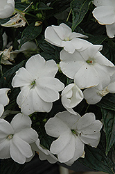 Sonic® White New Guinea Impatiens (Impatiens 'Sonic White') at Bayport Flower Houses
