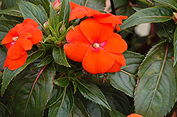 Sonic® Orange New Guinea Impatiens (Impatiens 'Sonic Orange') at Bayport Flower Houses