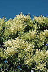 Japanese Tree Lilac (Syringa reticulata) at Bayport Flower Houses