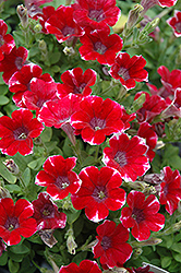 Littletunia Red Star Petunia (Petunia 'Littletunia Red Star') at Bayport Flower Houses